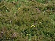 Mitteleuropäische Heide