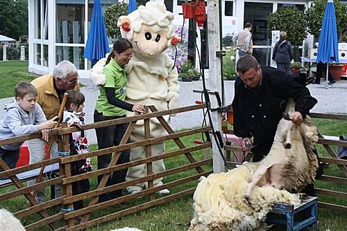 Schafschur und Hungener Schaf-Maskottchen